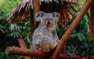 Retroviruses re-write koala DNA and cause cancer