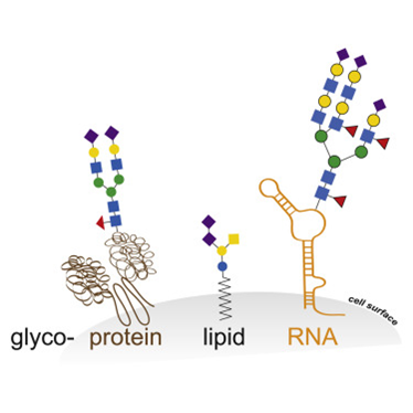 Researchers identify glycosylated RNA